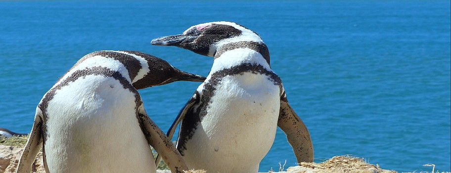 Australia's Fab 'n Famous Gay Penguins Have a Chick! Image